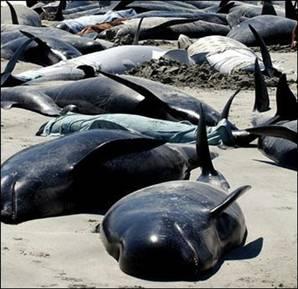 Photo of Balinaların acı sonu