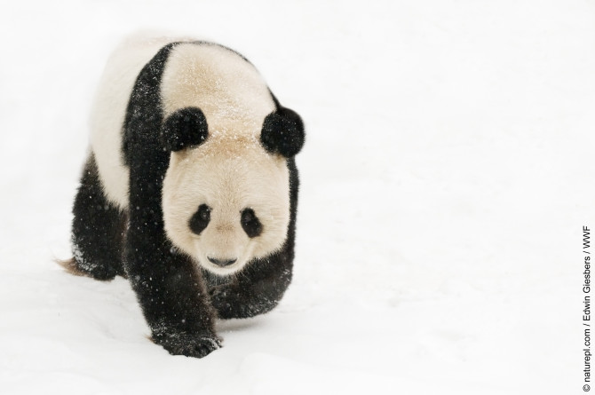 Female giant panda (Ailuropoda melanoleuca) walking on snow.