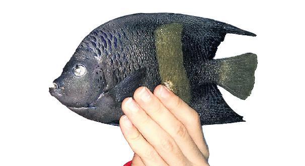 Sarı Lekeli Melek Balığı